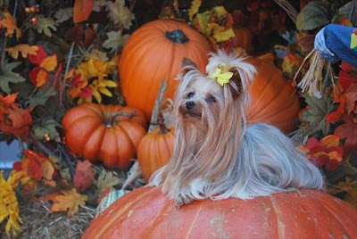 TheJungleStore.com Blog | Yorkie In Pumpkin Patch