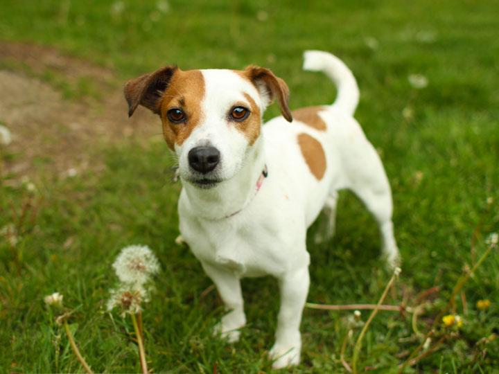 jill   jack russell terrier