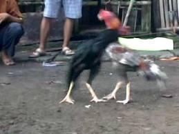 Tips dan cara memelihara ayam bangkok untuk aduan | Tips