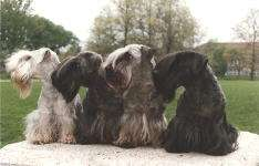 Cesky Terriers Photos