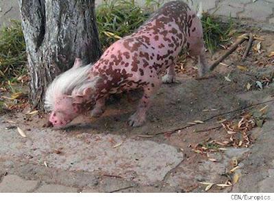 rara criatura en china perro cerdo sin pelo