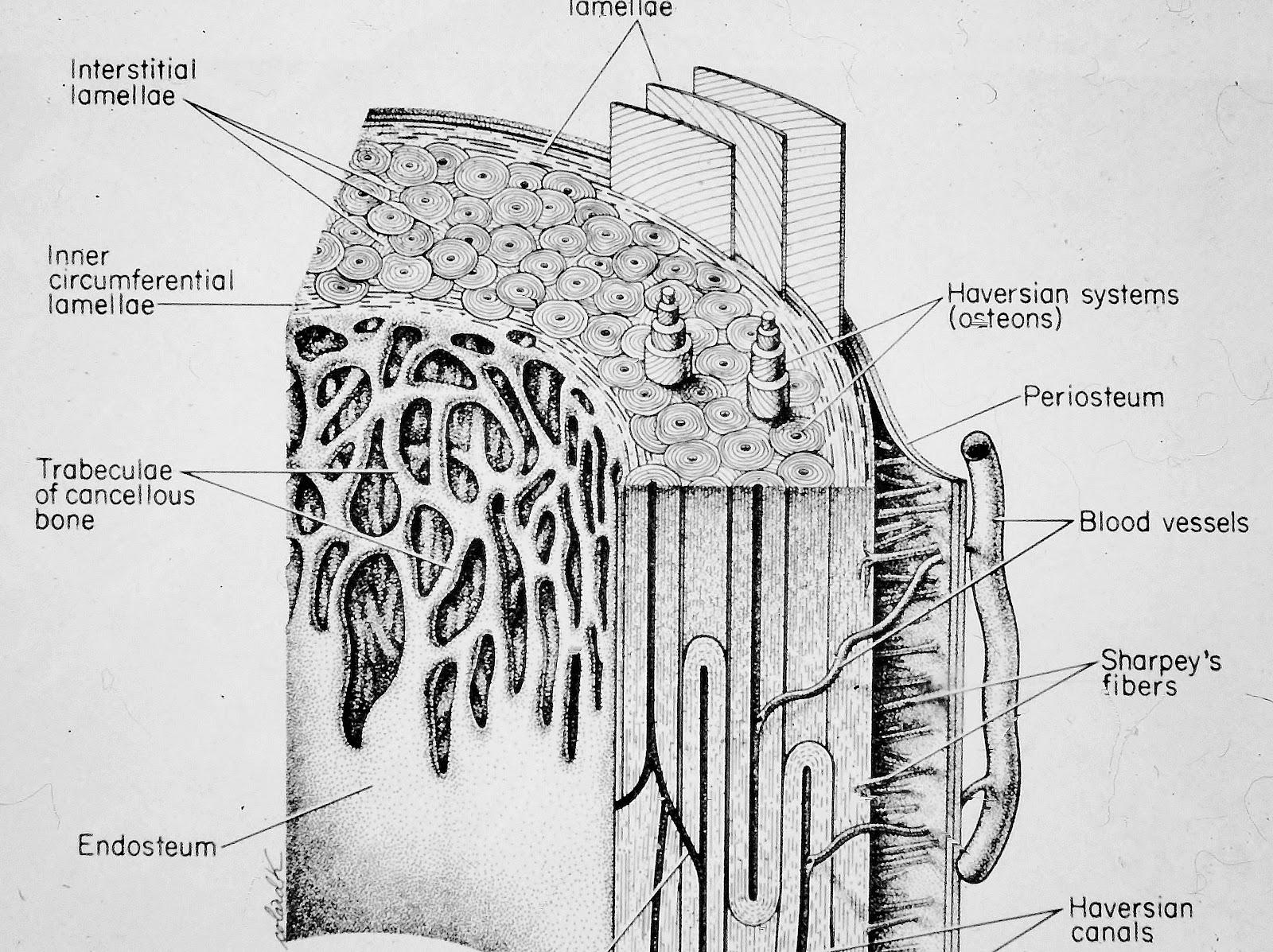 Niedlich Havers System Galerie - Menschliche Anatomie Bilder ...