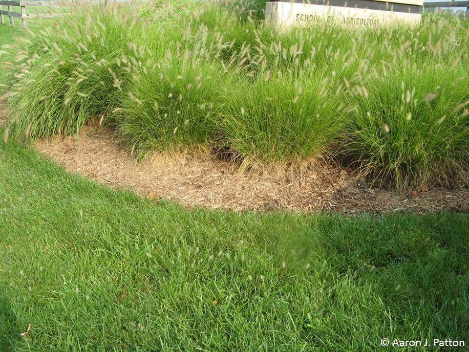 Purdue turf tips weed of the month for june 2013 is fountain grass although most of the ornamental grasses cannot withstand short mowing fountain grass does workwithnaturefo