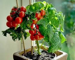 Mau Coba Tanam Tomat Cerry Didalam Pot? Begini Caranya