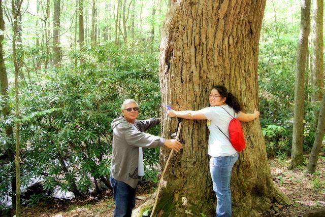 Old Growth Yellow Poplar Tree at Rock Castle Creek