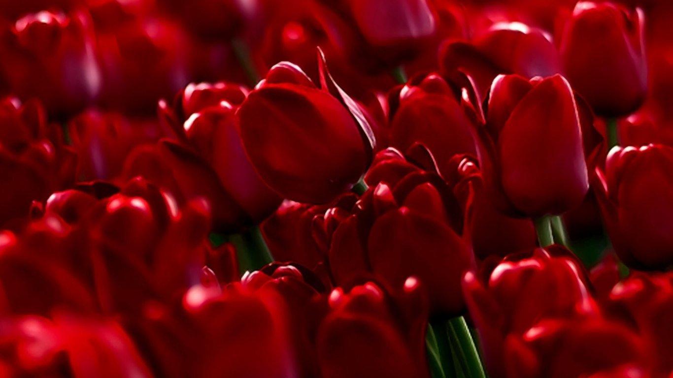 Wallpaper Tulips Hd Wallpapers