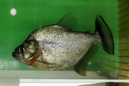 Pristobrycon striolatus