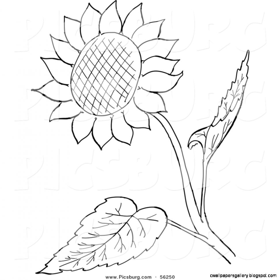 Sunflower Black And White Clipart   Clipart Kid