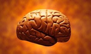 El cerebro mide 17 cm de largo