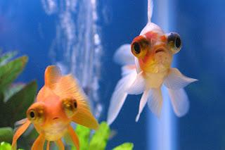 golden-fish-telescope-eye-black