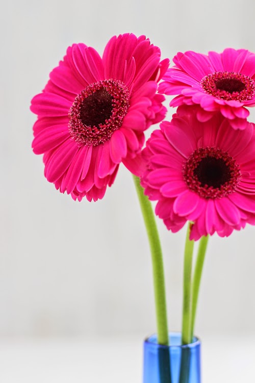Of spring and summer tiny blooms 6 pink gerbera Where did daisies originate
