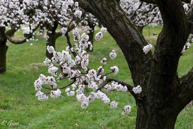 Djinns et jeans floraison - Quand tailler les abricotiers ...
