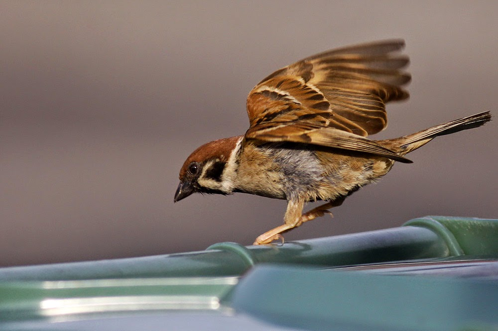 House Sparrow landing on rubbish bin