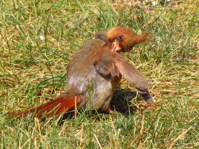 cardinal fluffing feathers