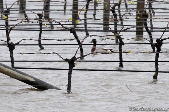 A duck swimming amongst the vines, surface flooding in Haumoana. photograph