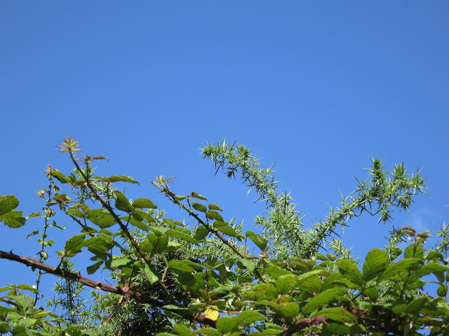 The top of a gorse bush against a blue sky
