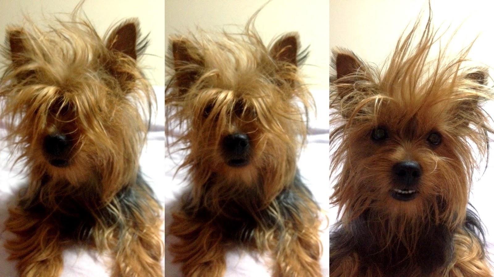 Yorkshire terrier banho