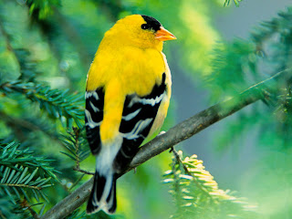 Gold Finch Bird Pictures