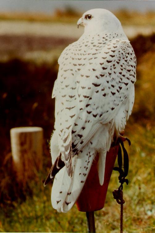 peregrine falcon picture wallpaper best blog wallpaperlikjen create