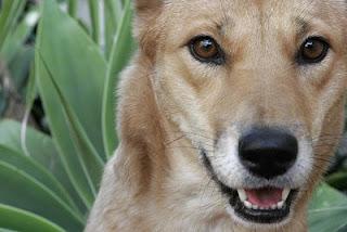 Dingo image