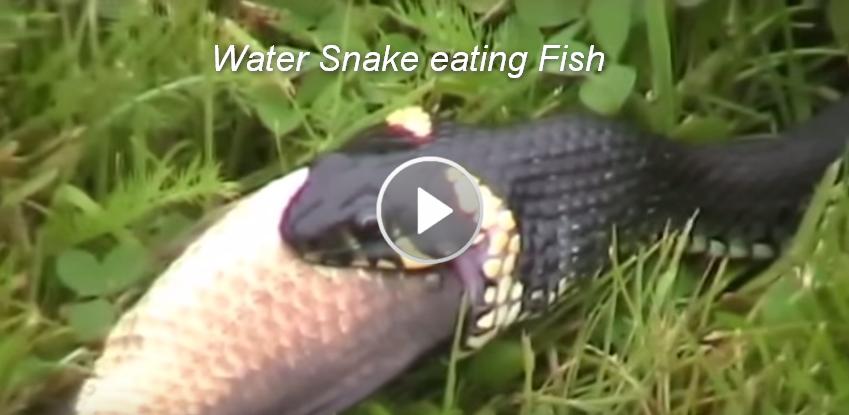 Khmer penh70 water snake eating fish snake chanel tv for Snake eating fish