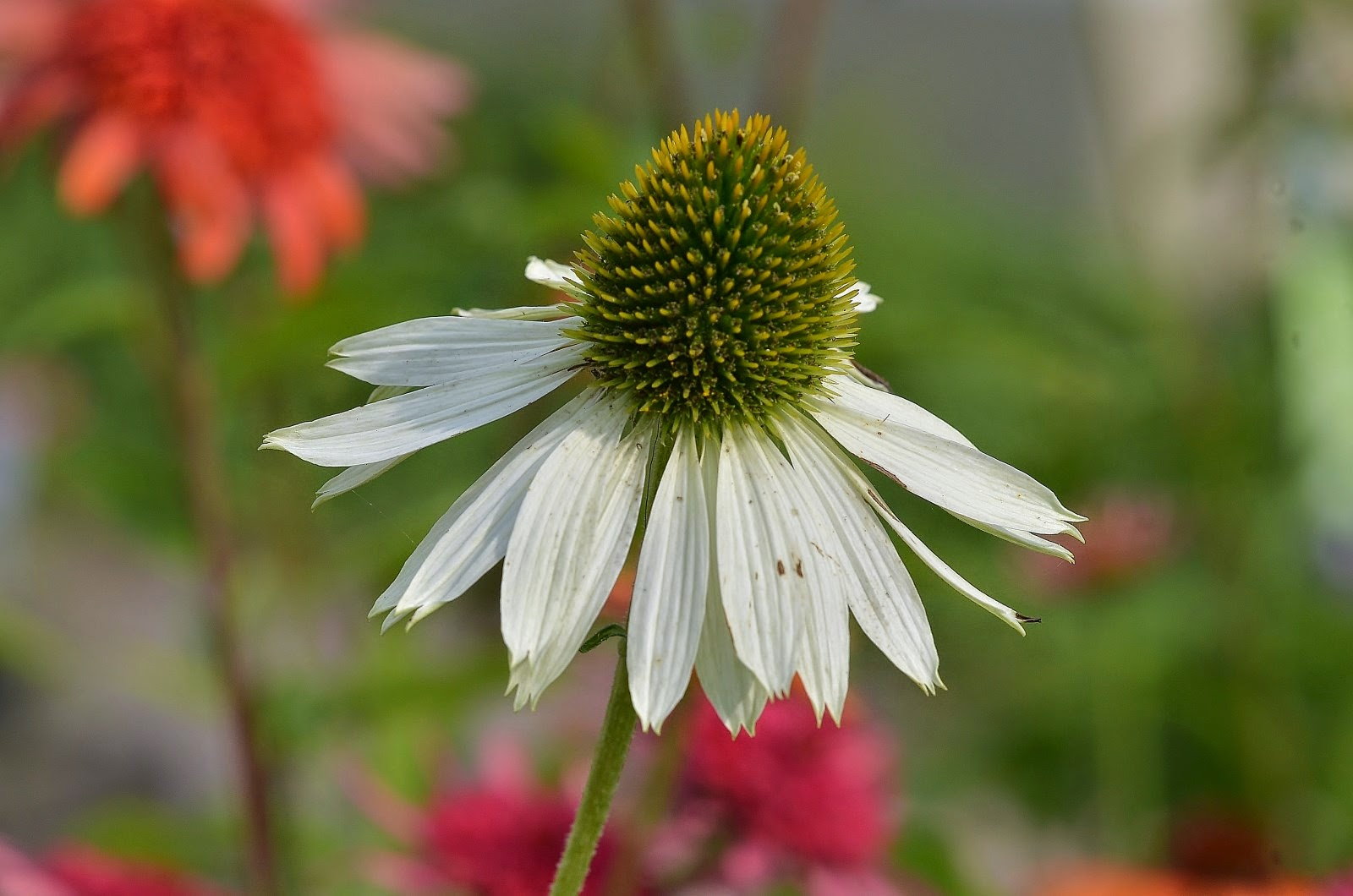 echinacea purpurea white swan seeds images. Black Bedroom Furniture Sets. Home Design Ideas