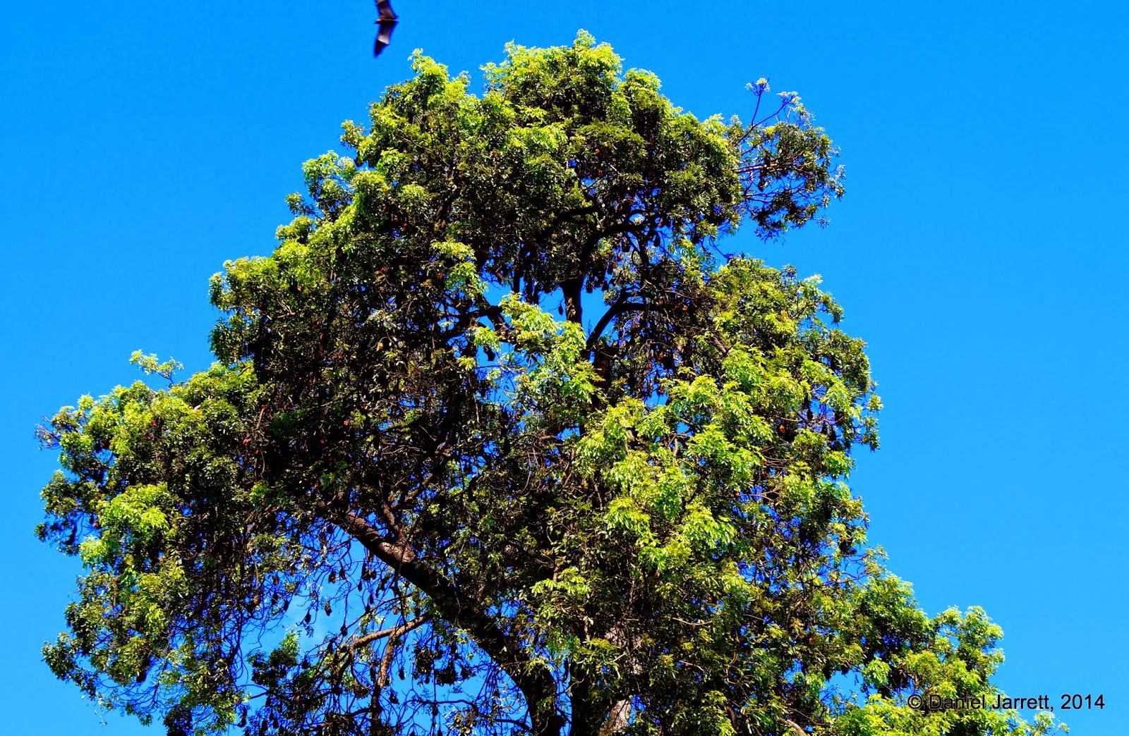 Bat Tree, Phnom Penh, Cambodia