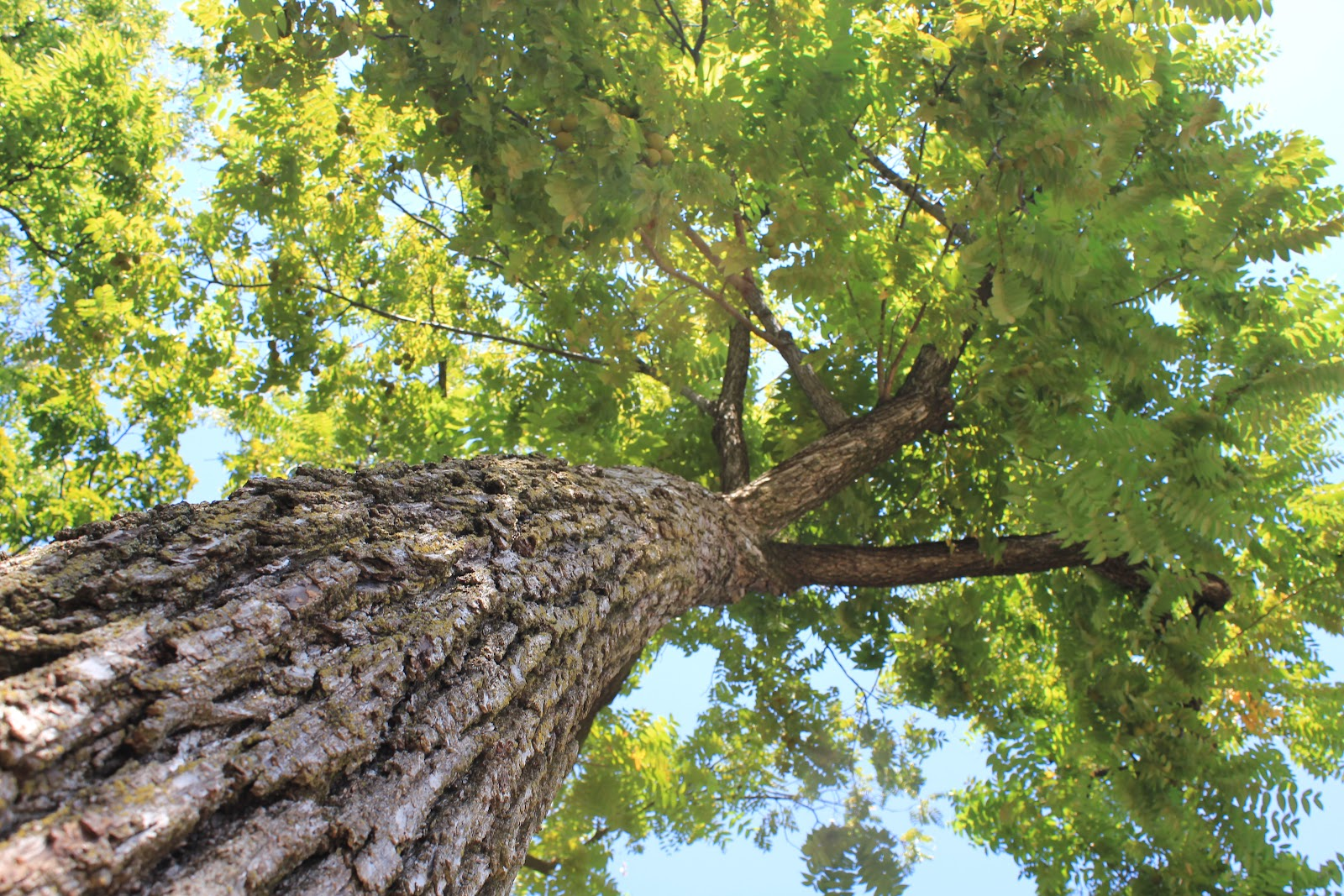 Black walnut tree value