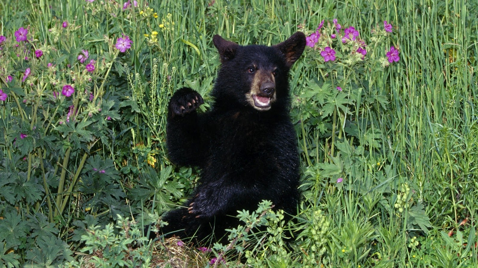 http://3.bp.blogspot.com/-r2FozmosfL8/T6QuBBXxdXI/AAAAAAAAAOs/OeBCxvyKtJc/s1600/Nature-hd-black-bear-cub-in-wildflowers-wallpapers-background_1920x1080.jpg