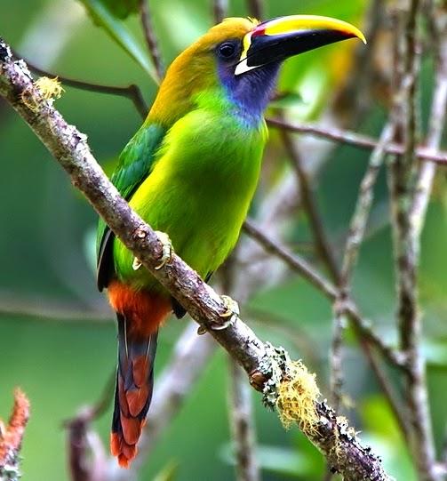 Emerald Toucanet Birds of the World: Ap...