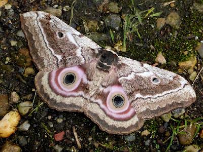 Gynanisa maia female