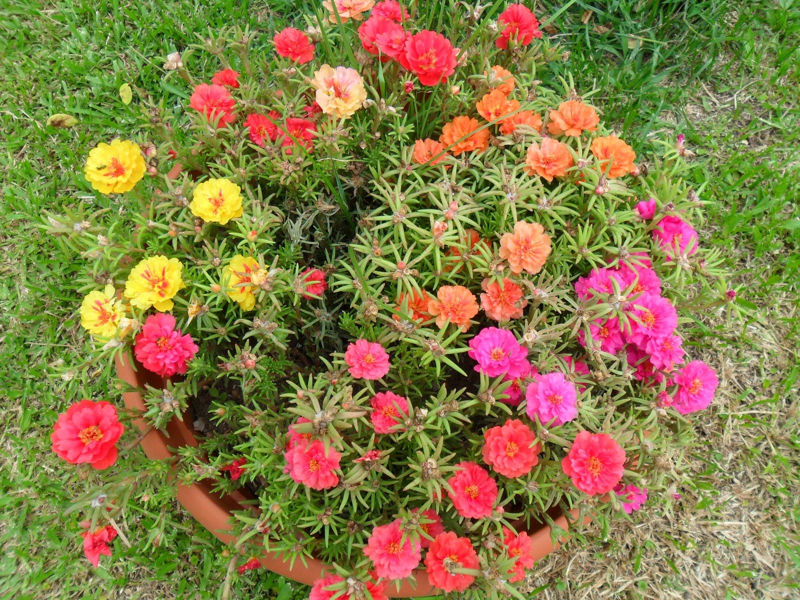 A toda imagen rosa china trebol en flor portulaca - Rosas chinas ...