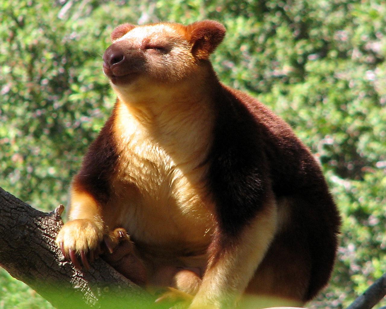 wildlife tree kangaroo animal facts and photos