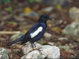 Foto Burung Kacer Poci Jantan