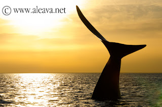 Whale Watching at sunset in Valdes Peninsula