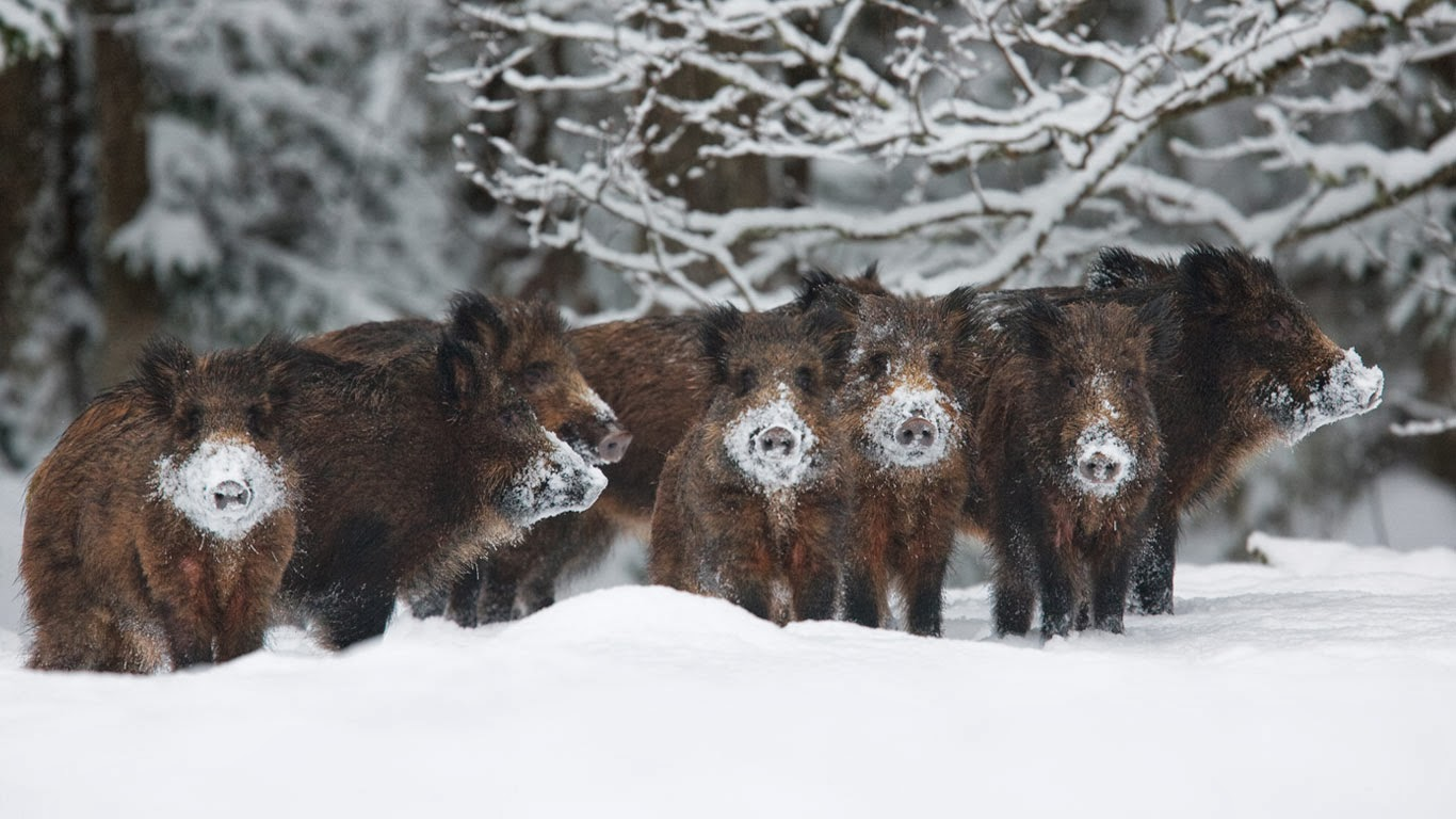 Wild boar herd, Alam-Pedja Nature Reserve, Estonia (© Wild Wonders of Europe/Zacek/Minden Pictures) 323