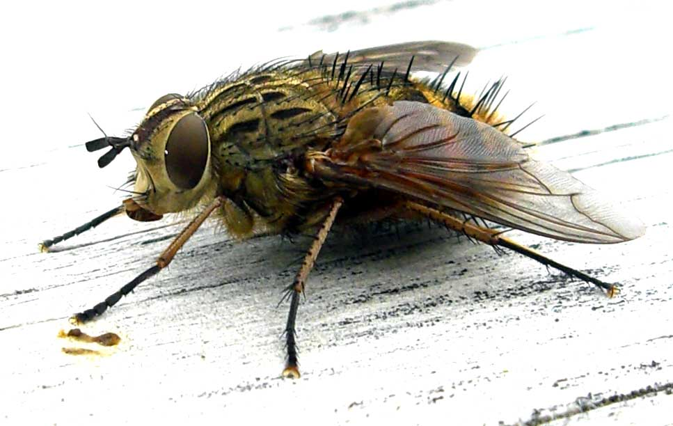Download this Fly picture