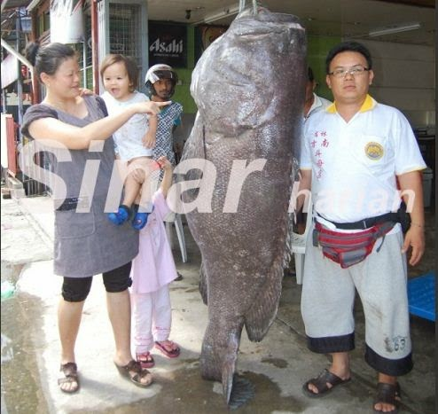 Menarik Ikan Kerapu Gergasi Dijual RM 9 120