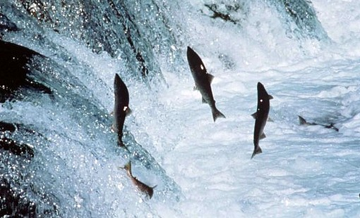 Which Is Healthier: Wild Salmon Or Farmed Salmon advise