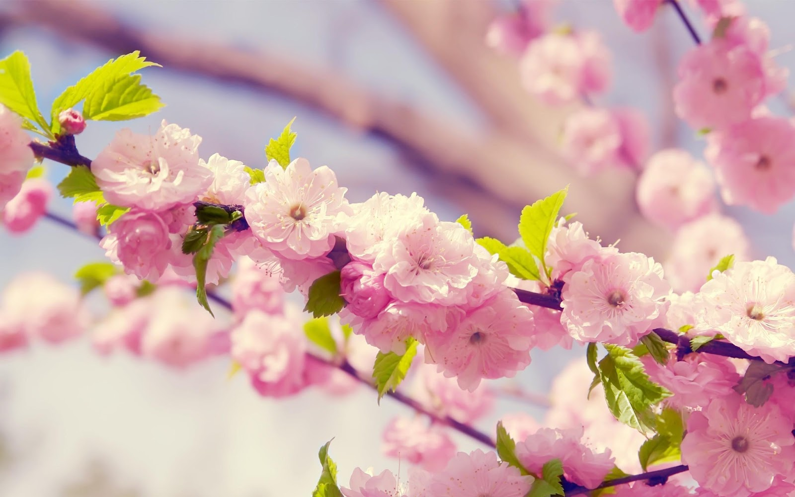 Pink-Cute-Flowers-Desktop-HD-Wallpapers.jpg