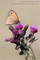 Petit papillon marron sur chardon fadet macro nature insecte