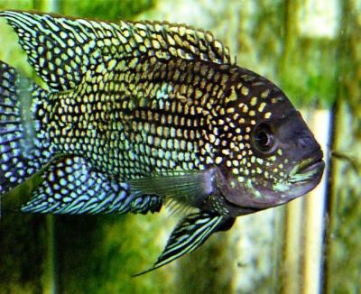 Mobugs jack dempsey a new invasive threat for Jack dempsy fish