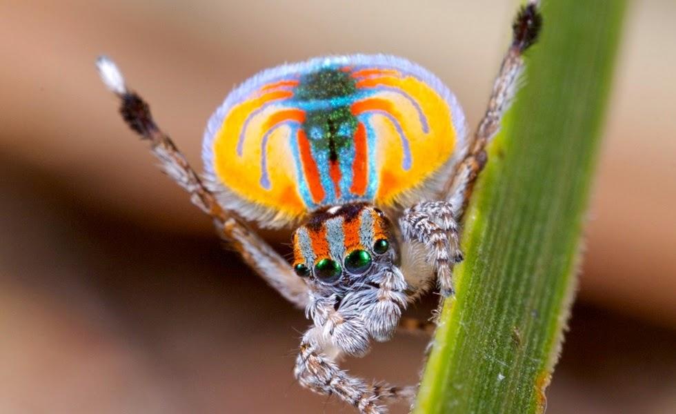 As aranhas mais coloridas e estranhas do mundo