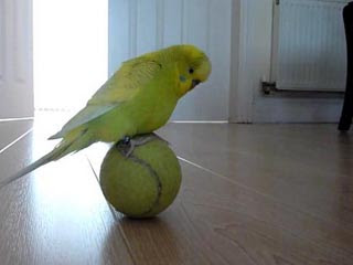 超神鸚鵡愛玩網球