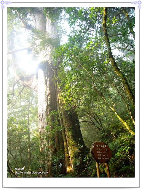 北橫拉拉山-十三號巨木
