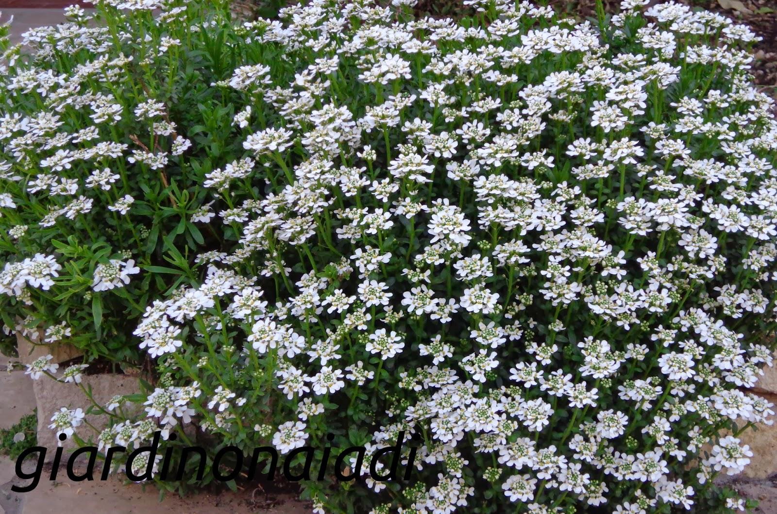 Il giardino delle naiadi iberis sempervirens un cuore bianco - Pianta da giardino con fiori bianchi ...