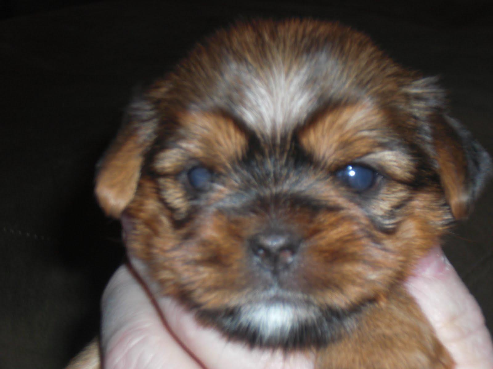 6 Week Old Shorkie Puppies Desktop Background