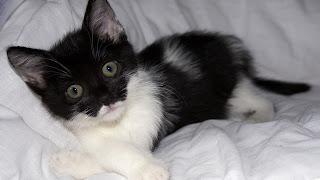Gato Sadie 9 semanas de edad