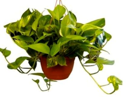 Online flowers delivery shop in india - Money tree feng shui placement ...