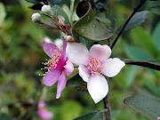 Dọc Trường Sơn, mùa này những đồi hoa sim tím nở bung nhuộm tím góc rừng.
